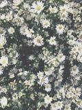 White gypsophila Stock Photo