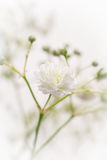 White Gypsophila flower Royalty Free Stock Images
