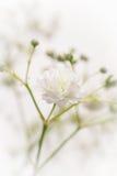 White Gypsophila flower Royalty Free Stock Images