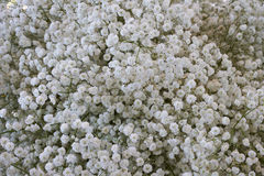 White Gypsophila Flowers Stock Image