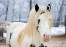 White gypsy horse at zoo Stock Photography