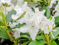 White Haaga Rhododendron flower Stock Images