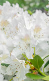White Haaga Rhododendron flower Royalty Free Stock Photo