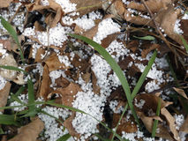 White hail or ice pellets on brown leaves with green grass blade Stock Images