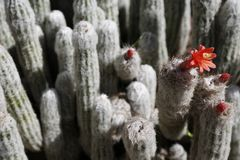 Old man of the mountain cactus, Oreocereus celsianus, blossom in a desert garden. The white hair with orange spikes cactus blossom in a desert garden, Los royalty free stock photo