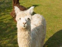 White hairy alpaca looking at camera Stock Photography