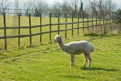 White hairy alpaca standing in a green field by a fence Stock Image