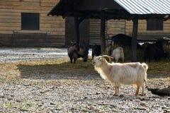 White hairy goat screaming royalty free stock image