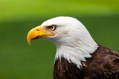 White Haliaeetus leucocephalus eagle head. White and yellow Haliaeetus leucocephalus eagle head portrait royalty free stock images