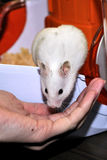 White hamster Stock Photography