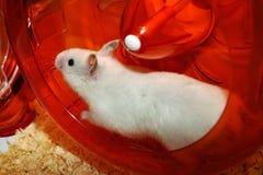 White hamster Royalty Free Stock Photos