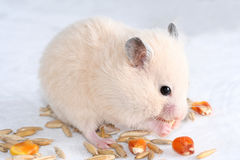 White hamster. On white eating seed stock image