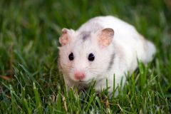 White hamster Royalty Free Stock Photography