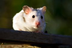 White hamster Royalty Free Stock Photo