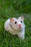 White hamster Royalty Free Stock Images