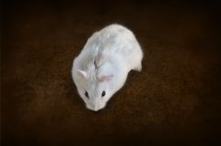 White hamster. On brown background Stock Photos