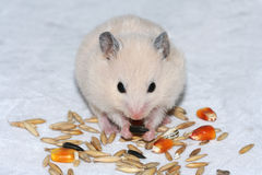 White hamster eating seed. Cute white hamster on white eating seed stock photography