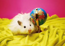 White hamster with globe. Royalty Free Stock Image