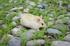 White hamster Stock Image