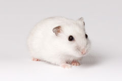 White hamster Stock Photo