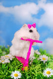 White hamster riding on a scooter Royalty Free Stock Photo
