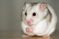 White hamster sitting Royalty Free Stock Images