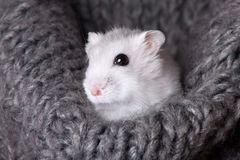 White hamster sitting in a gray knitted scarf. Small white hamster sitting in a gray knitted scarf royalty free stock photo