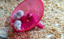 White hamsters doing some exercise on round wheel flying saucer. White hamsters doing some exercise on pink round wheel flying saucer toy Stock Photos