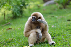 White hand gibbon. At zoo Stock Images