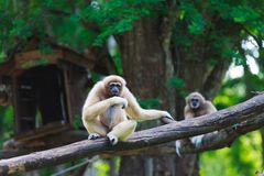 White hand gibbon Stock Photography
