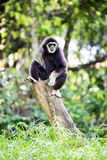 White hand Gibbon Stock Images