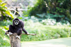 White hand Gibbon Royalty Free Stock Photography