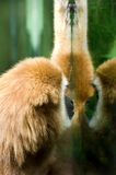 White-handed Gibbon Royalty Free Stock Photography