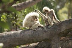 White handed Gibbon Stock Images