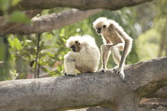 White handed Gibbon Royalty Free Stock Images