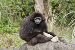 White Handed Gibbon. A white hand Gibbon sitting on a rock. It looks sad, like it's comtemplating some bad news. Many Gibbons come from Southeast Asia stock photo