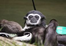 White handed gibbon. A white handed gibbon hanging out royalty free stock images