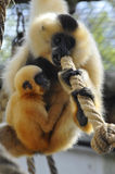 White-handed Gibbon Royalty Free Stock Photos