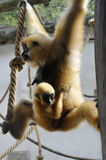 White-handed Gibbon. Gibbon mother and baby is swinging on a rope royalty free stock photography