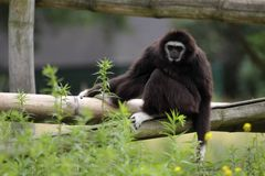 White-handed gibbon Royalty Free Stock Photo