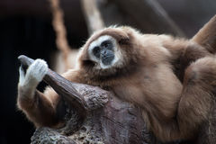 White-handed Gibbon Stock Image