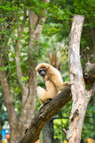 White handed Gibbon Stock Images