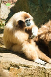 White-Handed Gibbon Royalty Free Stock Images