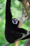 White - Handed Gibbon Stock Photos