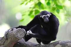 White - Handed Gibbon Stock Photo