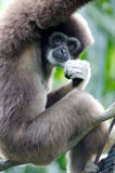 White Handed Gibbon. A white handed Gibbon portriat Royalty Free Stock Photo