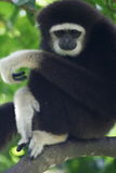 White Handed Gibbon Stock Photos