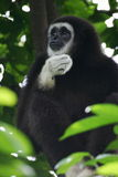 White Handed Gibbon Stock Photo