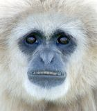 White Handed Gibbon. Portrait of a White Handed Gibbon royalty free stock image