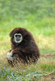 White-handed gibbon. The rain has stopped, the young white-handed gibbon tries to dry the wool on the sun Stock Images